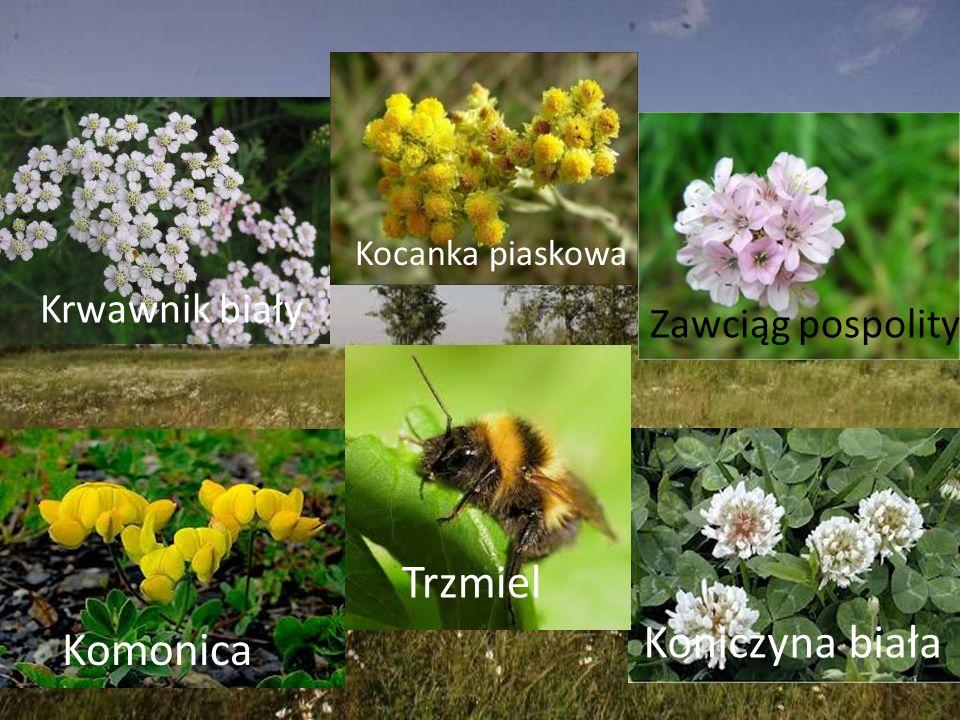 Krwawnik biały Zawciąg pospolity Komonica Koniczyna biała Kocanka piaskowa Trzmiel