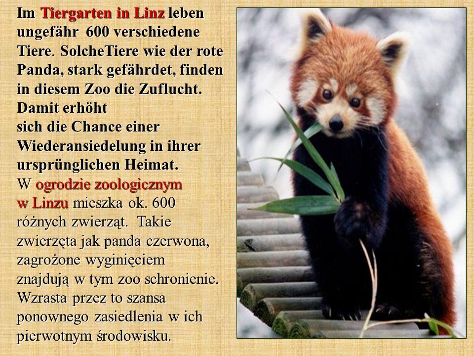 Im Tiergarten in Linz leben ungefähr 600 verschiedene Tiere. SolcheTiere wie der rote Panda, stark gefährdet, finden in diesem Zoo die Zuflucht. Damit