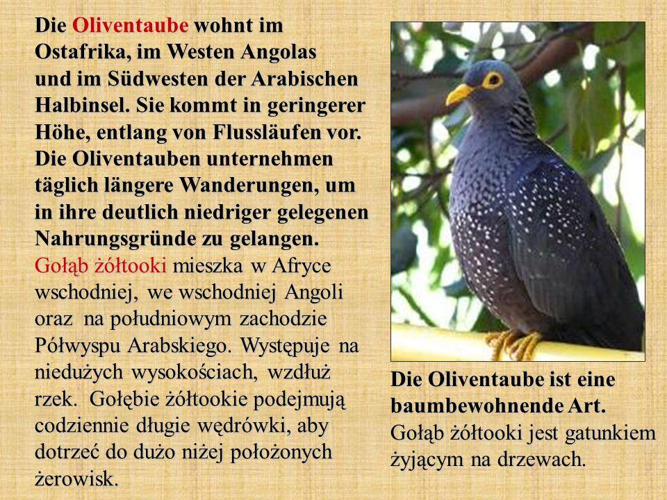 Die Oliventaube wohnt im Ostafrika, im Westen Angolas und im Südwesten der Arabischen Halbinsel.
