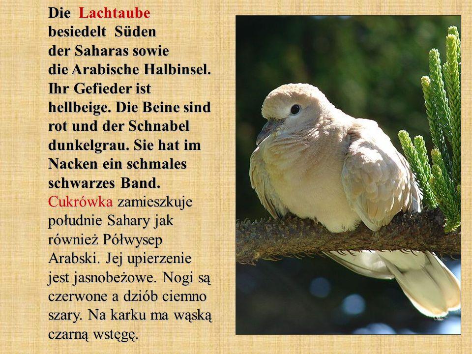 Die Lachtaube besiedelt Süden der Saharas sowie die Arabische Halbinsel.