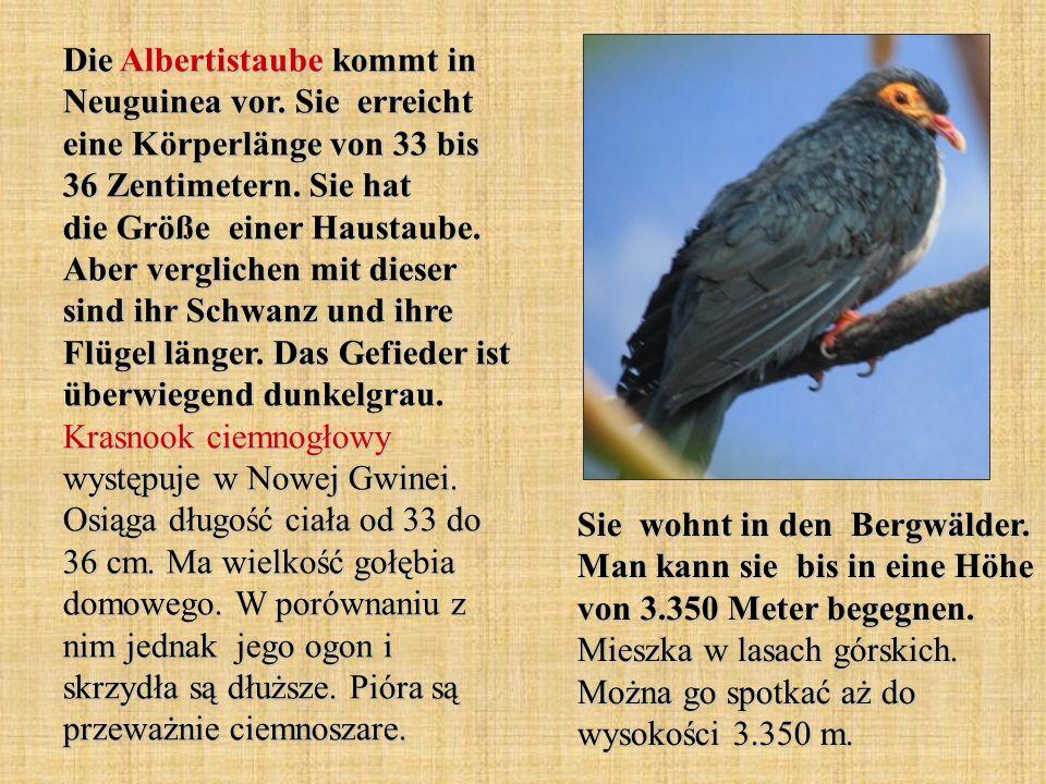 Die Albertistaube kommt in Neuguinea vor.Sie erreicht eine Körperlänge von 33 bis 36 Zentimetern.