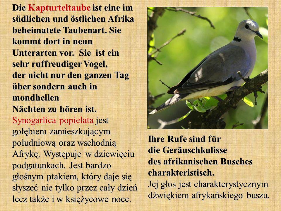 Die Kapturteltaube ist eine im südlichen und östlichen Afrika beheimatete Taubenart.