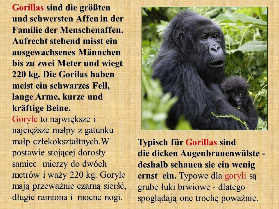 Typisch für Gorillas sind die dicken Augenbrauenwülste - deshalb schauen sie ein wenig ernst ein. Typowe dla goryli są grube łuki brwiowe - dlatego sp