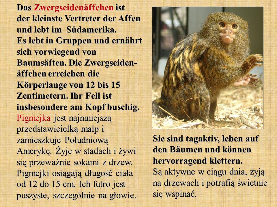 Das Zwergseidenäffchen ist der kleinste Vertreter der Affen und lebt im Südamerika. Es lebt in Gruppen und ernährt sich vorwiegend von Baumsäften. Die