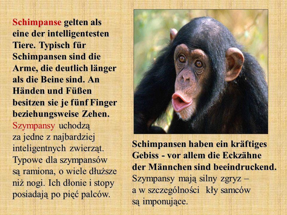 Schimpanse gelten als eine der intelligentesten Tiere. Typisch für Schimpansen sind die Arme, die deutlich länger als die Beine sind. An Händen und Fü