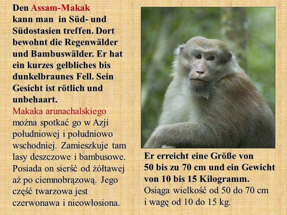 Den Assam-Makak kann man in Süd- und Südostasien treffen. Dort bewohnt die Regenwälder und Bambuswälder. Er hat ein kurzes gelbliches bis dunkelbraune