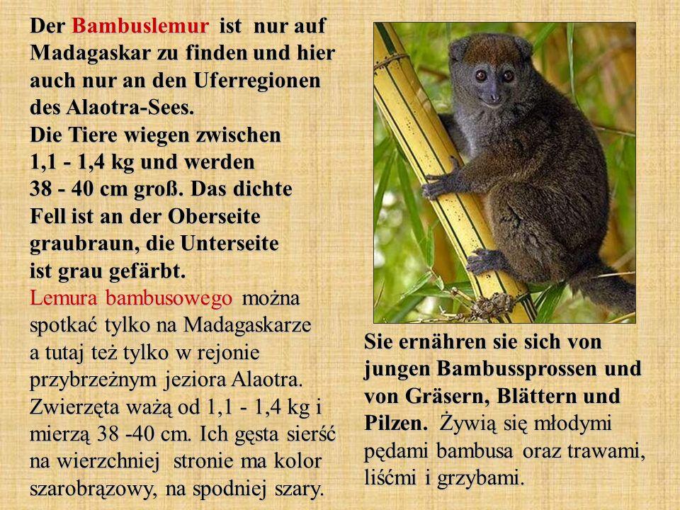 Der Bambuslemur ist nur auf Madagaskar zu finden und hier auch nur an den Uferregionen des Alaotra-Sees. Die Tiere wiegen zwischen 1,1 - 1,4 kg und we