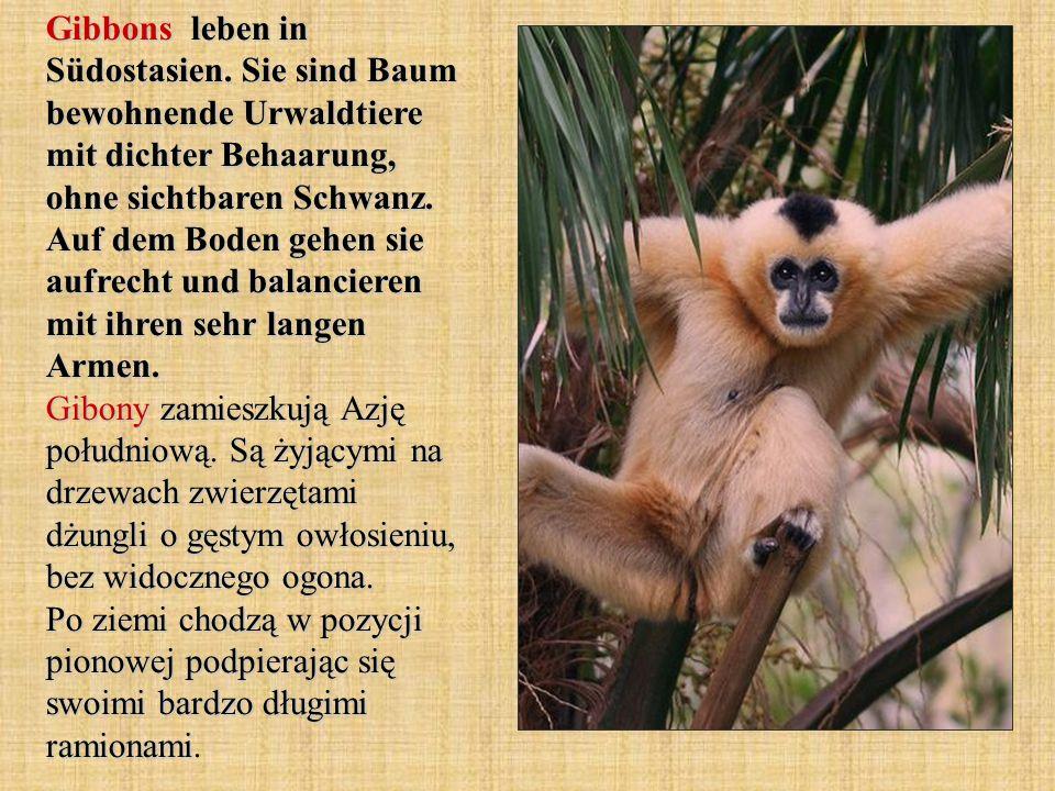 Gibbons leben in Südostasien. Sie sind Baum bewohnende Urwaldtiere mit dichter Behaarung, ohne sichtbaren Schwanz. Auf dem Boden gehen sie aufrecht un
