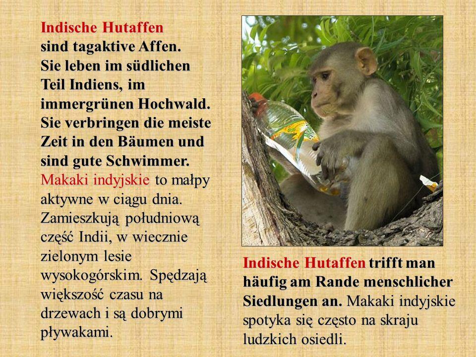 Indische Hutaffen sind tagaktive Affen. Sie leben im südlichen Teil Indiens, im immergrünen Hochwald. Sie verbringen die meiste Zeit in den Bäumen und
