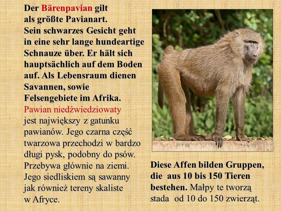 Der Bärenpavian gilt als größte Pavianart. Sein schwarzes Gesicht geht in eine sehr lange hundeartige Schnauze über. Er hält sich hauptsächlich auf de