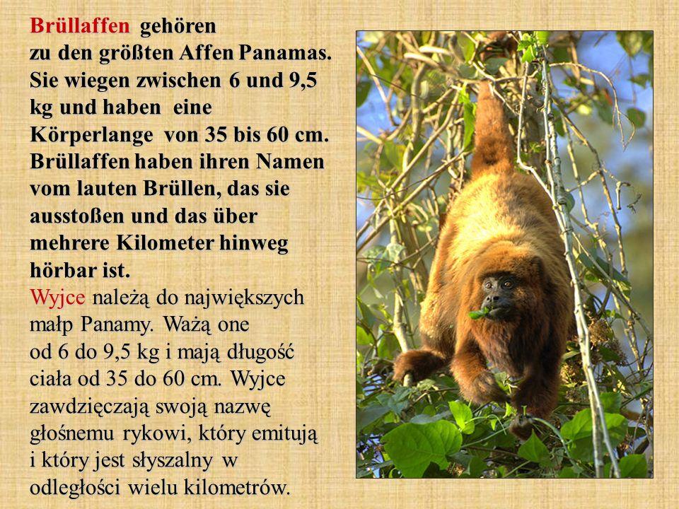 Brüllaffen gehören zu den größten Affen Panamas. Sie wiegen zwischen 6 und 9,5 kg und haben eine Körperlange von 35 bis 60 cm. Brüllaffen haben ihren