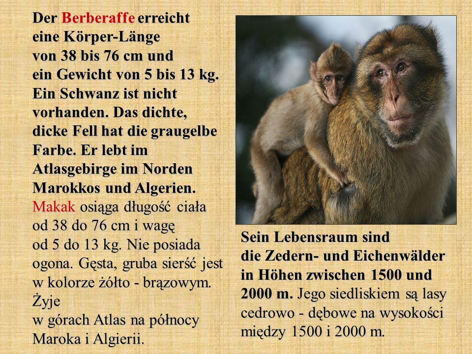 Der Berberaffe erreicht eine Körper-Länge von 38 bis 76 cm und ein Gewicht von 5 bis 13 kg. Ein Schwanz ist nicht vorhanden. Das dichte, dicke Fell ha