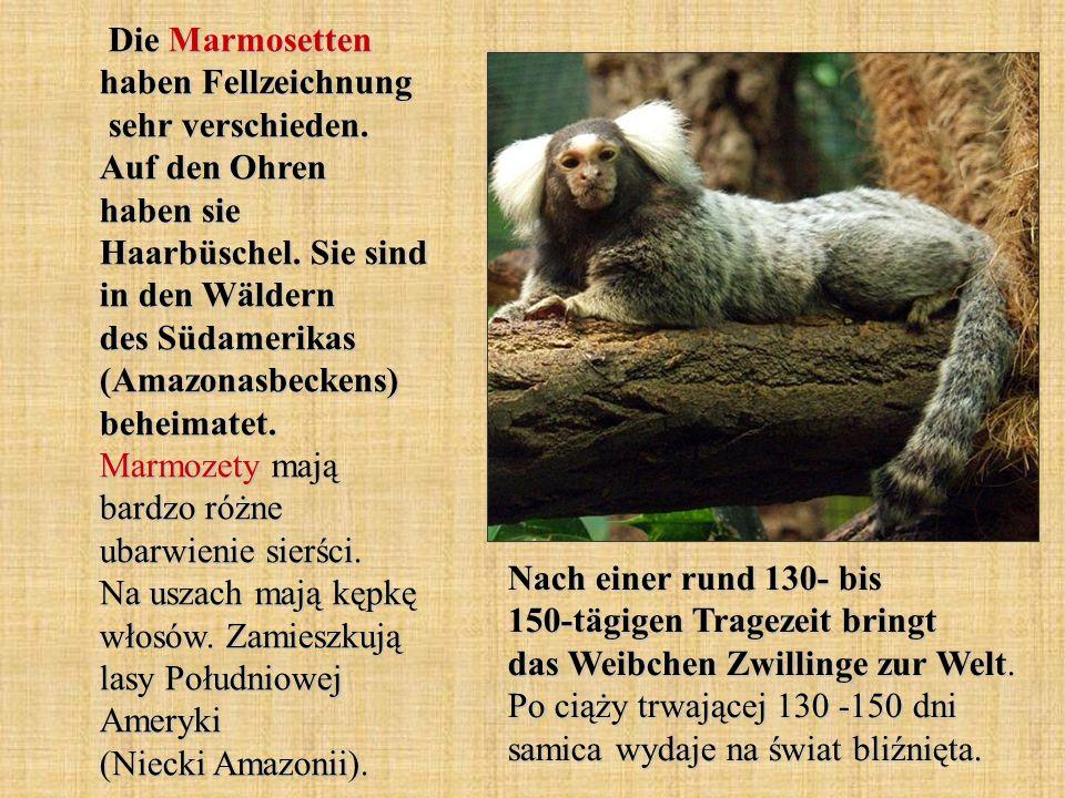 Die Marmosetten haben Fellzeichnung sehr verschieden. Auf den Ohren haben sie Haarbüschel. Sie sind in den Wäldern des Südamerikas (Amazonasbeckens) b