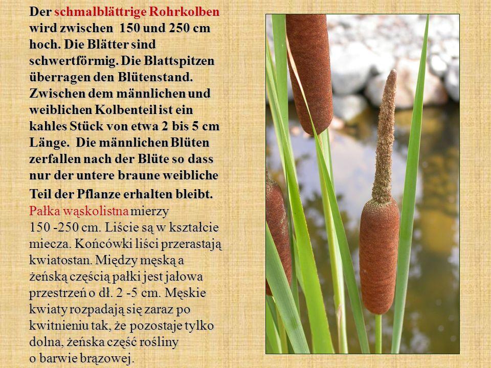 Der schmalblättrige Rohrkolben wird zwischen 150 und 250 cm hoch. Die Blätter sind schwertförmig. Die Blattspitzen überragen den Blütenstand. Zwischen