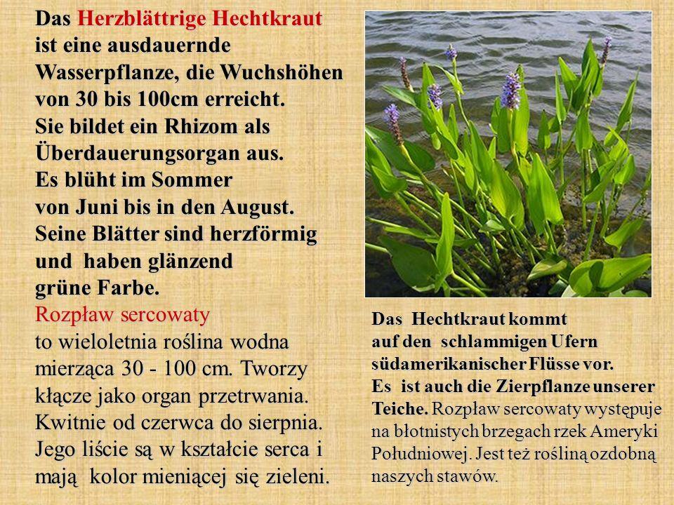 Das Herzblättrige Hechtkraut ist eine ausdauernde Wasserpflanze, die Wuchshöhen von 30 bis 100cm erreicht. Sie bildet ein Rhizom als Überdauerungsorga