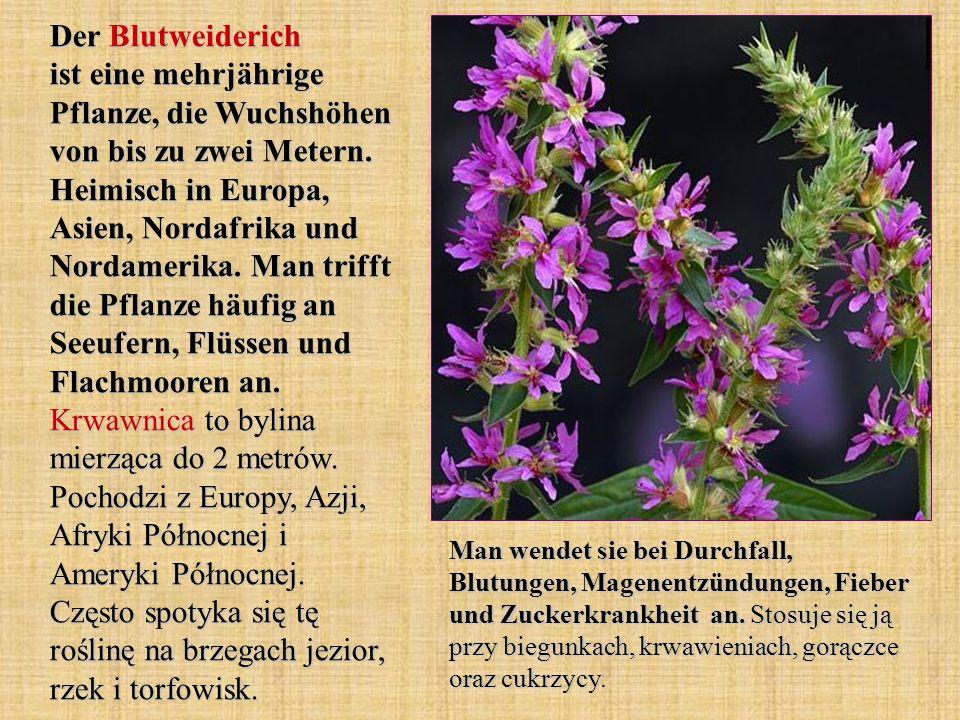 Der Blutweiderich ist eine mehrjährige Pflanze, die Wuchshöhen von bis zu zwei Metern. Heimisch in Europa, Asien, Nordafrika und Nordamerika. Man trif