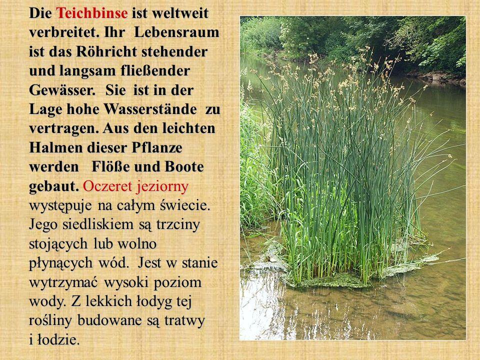 Die Teichbinse ist weltweit verbreitet. Ihr Lebensraum ist das Röhricht stehender und langsam fließender Gewässer. Sie ist in der Lage hohe Wasserstän