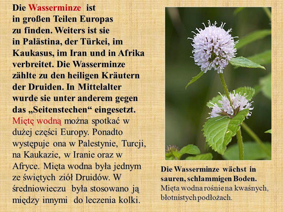 Die Wasserminze ist in großen Teilen Europas zu finden. Weiters ist sie in Palästina, der Türkei, im Kaukasus, im Iran und in Afrika verbreitet. Die W