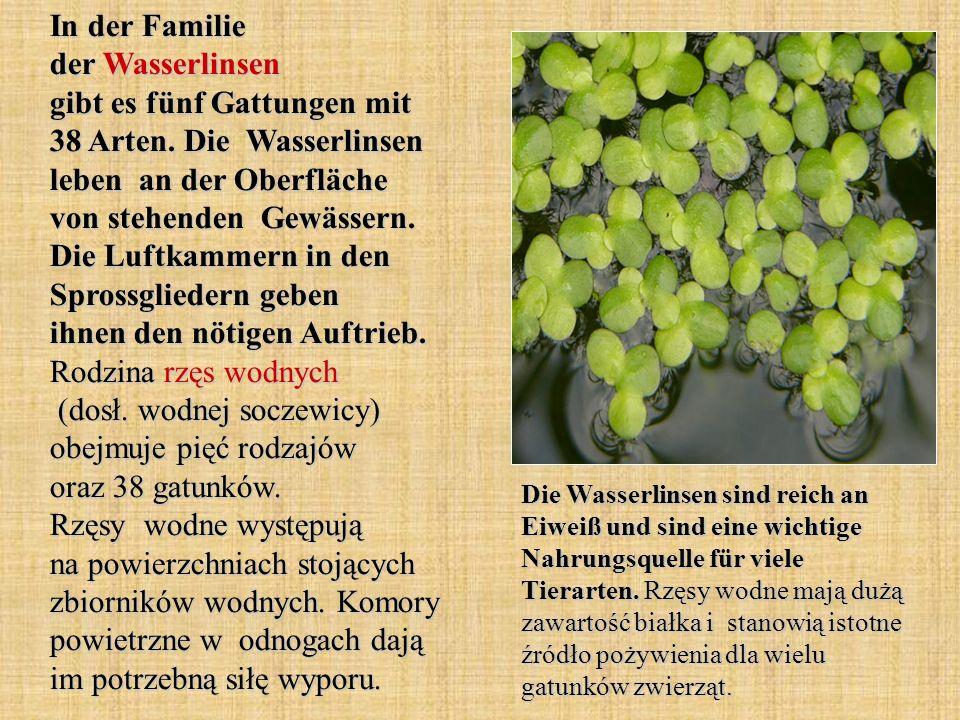 In der Familie der Wasserlinsen gibt es fünf Gattungen mit 38 Arten. Die Wasserlinsen leben an der Oberfläche von stehenden Gewässern. Die Luftkammern