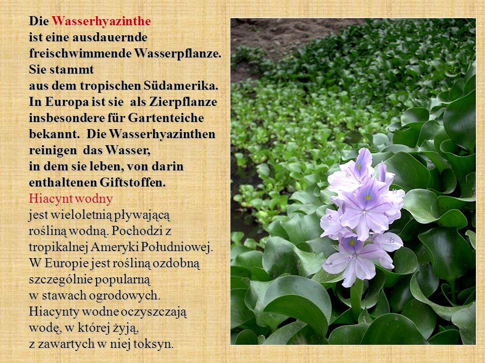 Die Wasserhyazinthe ist eine ausdauernde freischwimmende Wasserpflanze. Sie stammt aus dem tropischen Südamerika. In Europa ist sie als Zierpflanze in