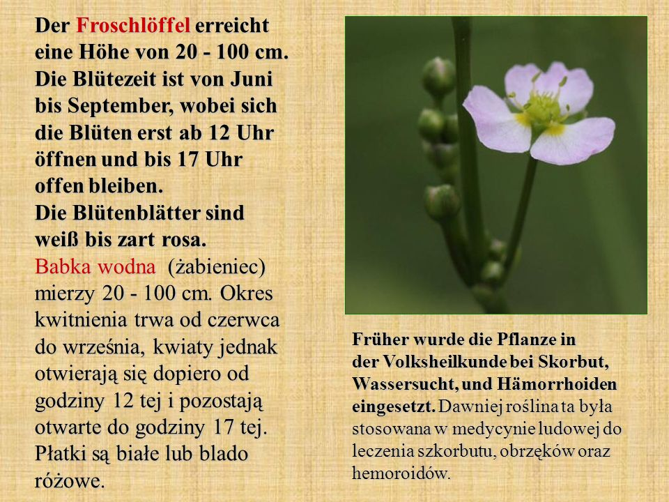 Der Froschlöffel erreicht eine Höhe von 20 - 100 cm. Die Blütezeit ist von Juni bis September, wobei sich die Blüten erst ab 12 Uhr öffnen und bis 17