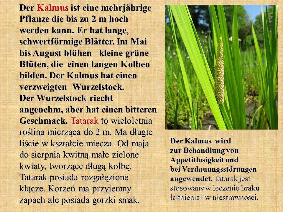 Der Kalmus ist eine mehrjährige Pflanze die bis zu 2 m hoch werden kann. Er hat lange, schwertförmige Blätter. Im Mai bis August blühen kleine grüne B
