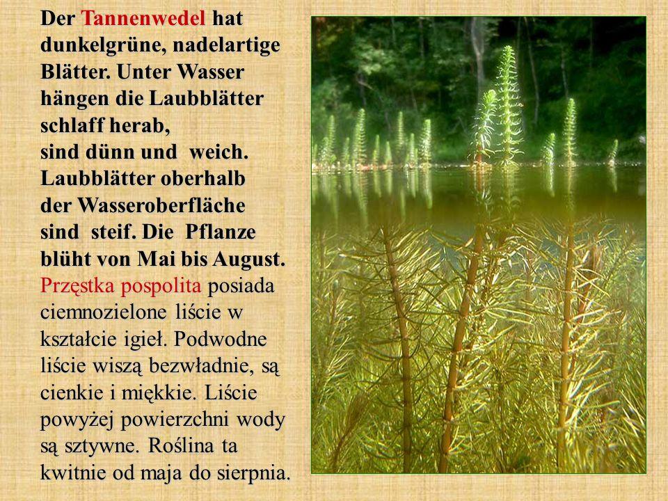 Der Tannenwedel hat dunkelgrüne, nadelartige Blätter. Unter Wasser hängen die Laubblätter schlaff herab, sind dünn und weich. Laubblätter oberhalb der