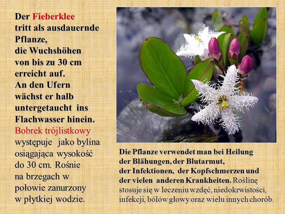 Der Fieberklee tritt als ausdauernde Pflanze, die Wuchshöhen von bis zu 30 cm erreicht auf. An den Ufern wächst er halb untergetaucht ins Flachwasser