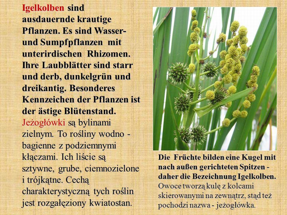 Igelkolben sind ausdauernde krautige Pflanzen. Es sind Wasser- und Sumpfpflanzen mit unterirdischen Rhizomen. Ihre Laubblätter sind starr und derb, du