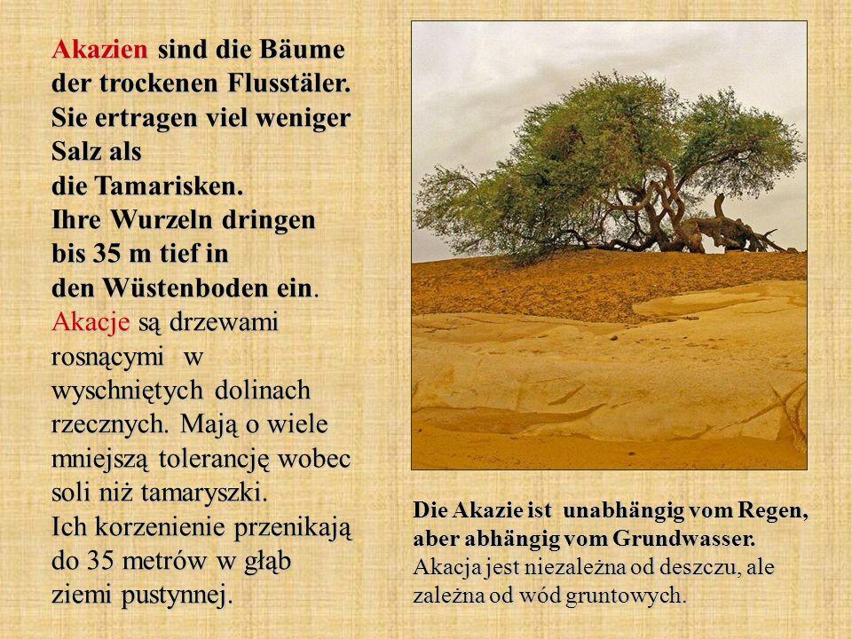 Akazien sind die Bäume der trockenen Flusstäler. Sie ertragen viel weniger Salz als die Tamarisken. Ihre Wurzeln dringen bis 35 m tief in den Wüstenbo