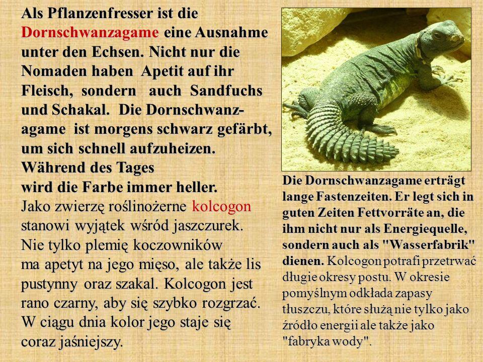 Als Pflanzenfresser ist die Dornschwanzagame eine Ausnahme unter den Echsen. Nicht nur die Nomaden haben Apetit auf ihr Fleisch, sondern auch Sandfuch