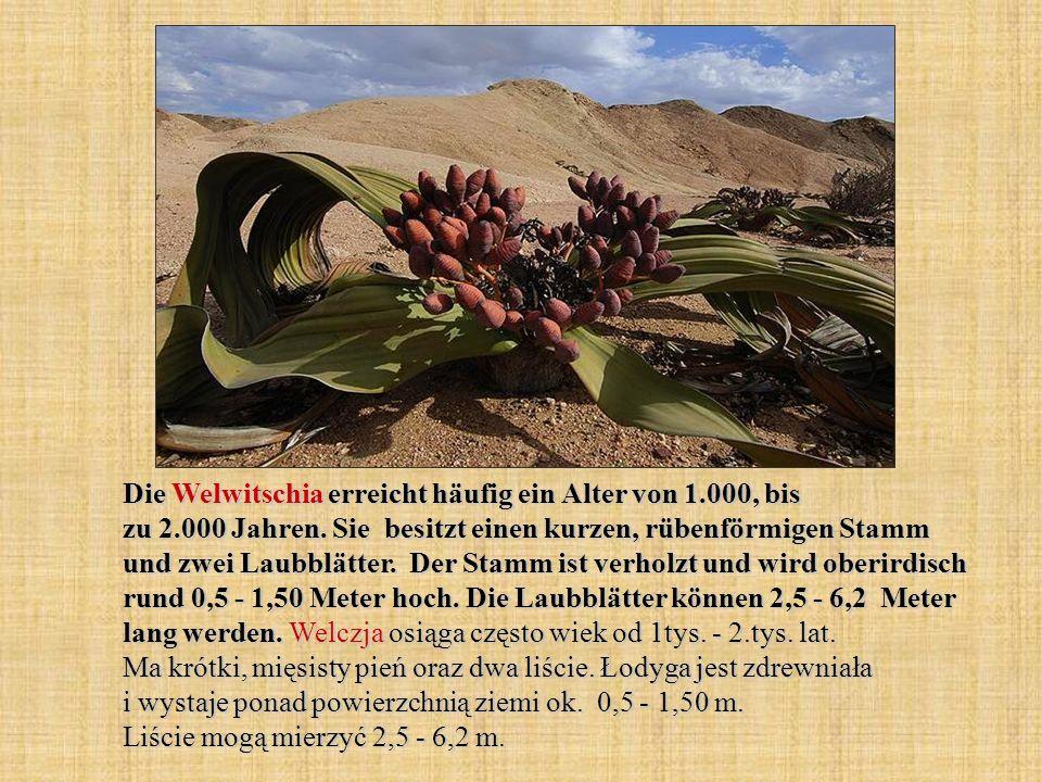 Die Welwitschia erreicht häufig ein Alter von 1.000, bis zu 2.000 Jahren. Sie besitzt einen kurzen, rübenförmigen Stamm und zwei Laubblätter. Der Stam