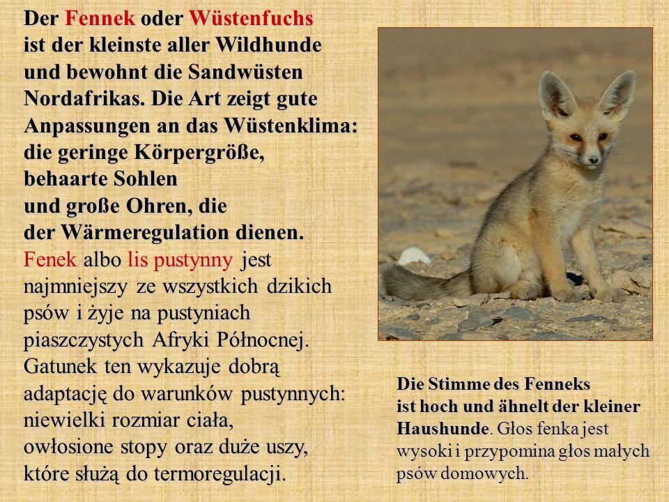 Der Fennek oder Wüstenfuchs ist der kleinste aller Wildhunde und bewohnt die Sandwüsten Nordafrikas. Die Art zeigt gute Anpassungen an das Wüstenklima
