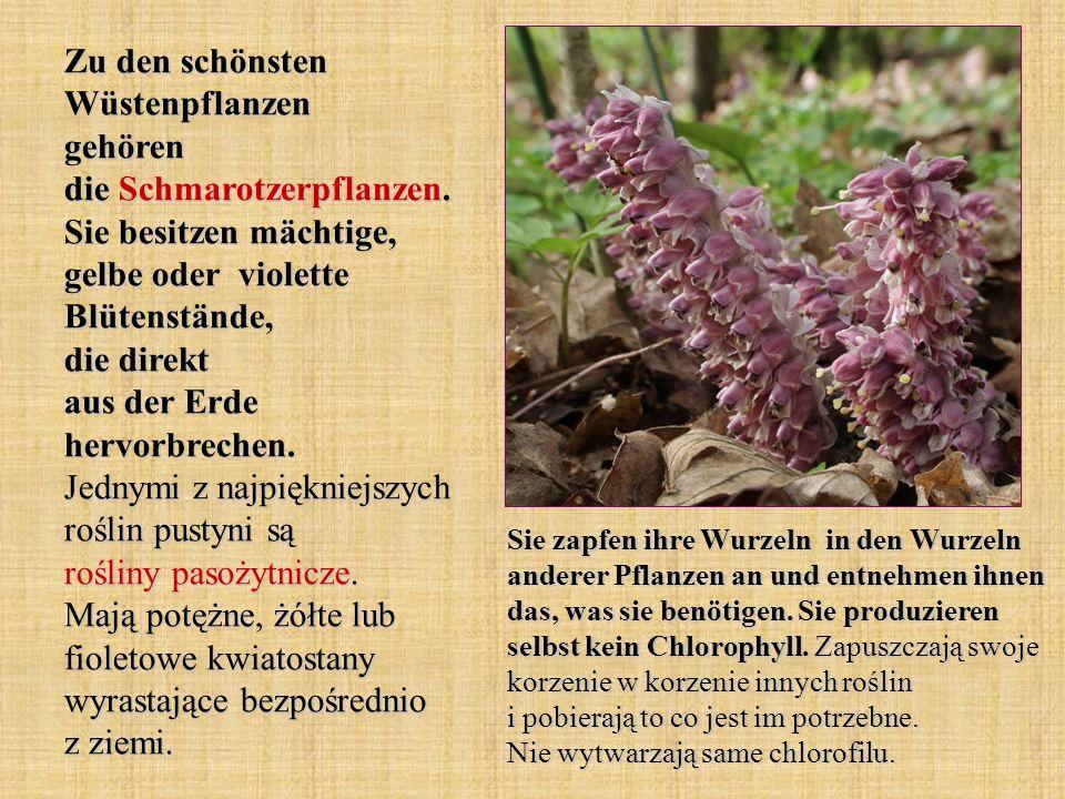 Zu den schönsten Wüstenpflanzen gehören die Schmarotzerpflanzen. Sie besitzen mächtige, gelbe oder violette Blütenstände, die direkt aus der Erde herv