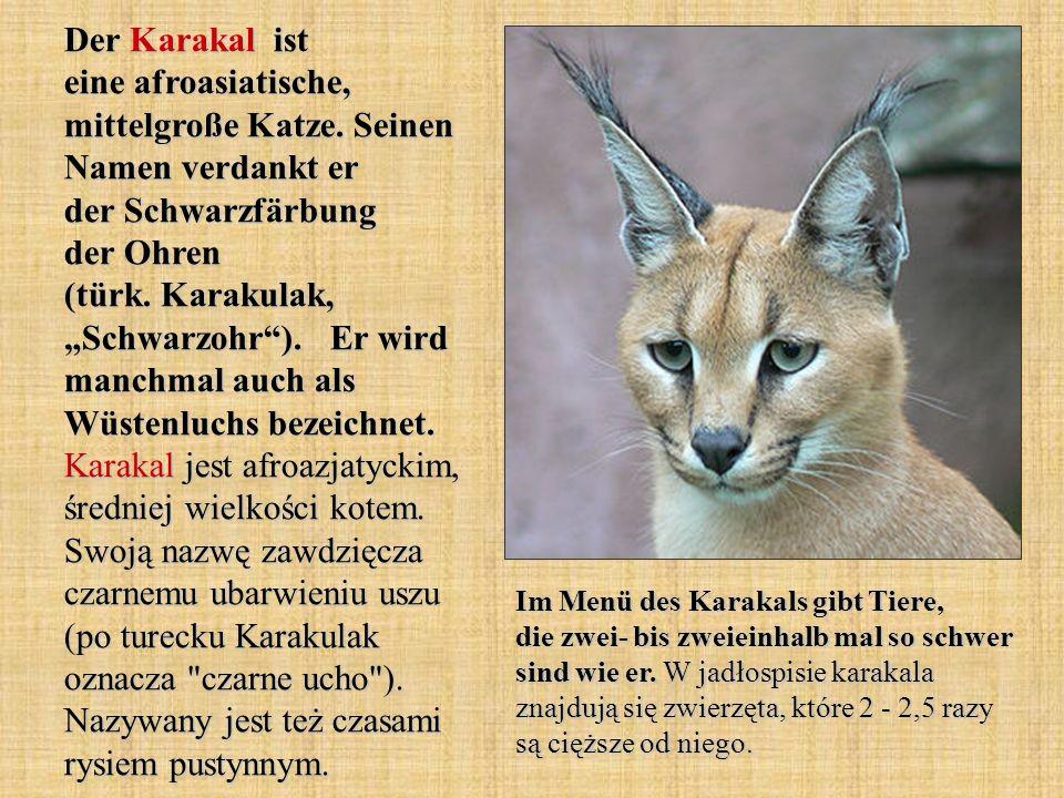 Der Karakal ist eine afroasiatische, mittelgroße Katze. Seinen Namen verdankt er der Schwarzfärbung der Ohren (türk. Karakulak, Schwarzohr). Er wird m