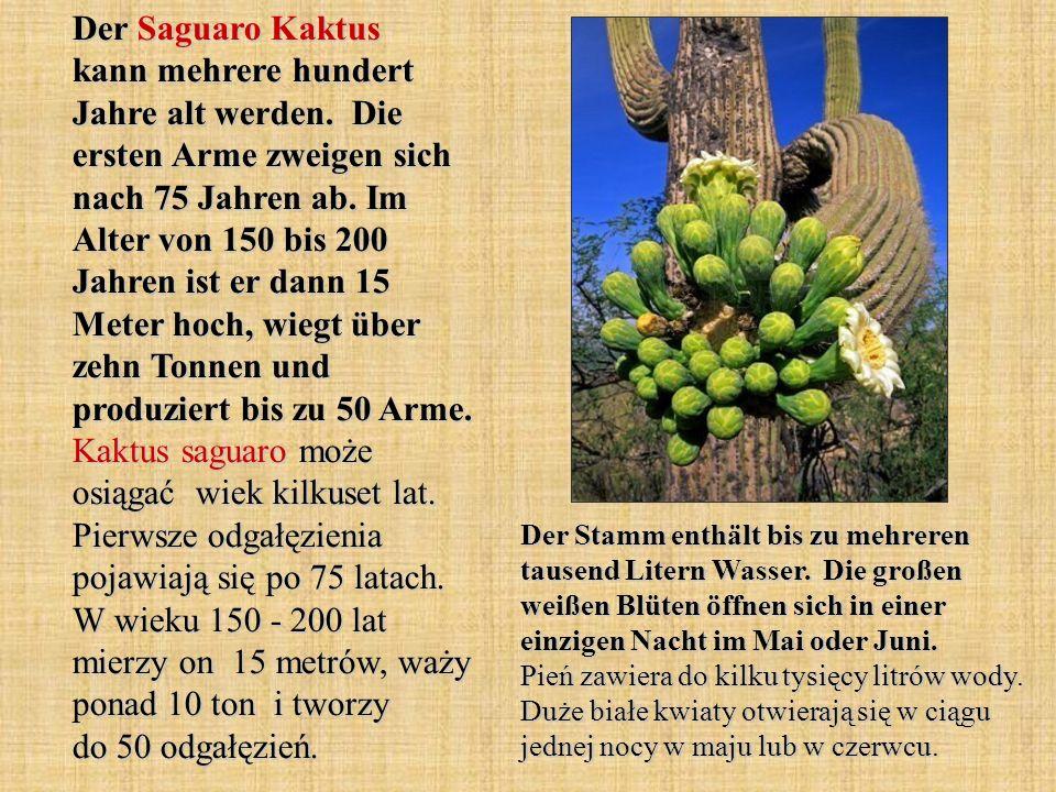 Der Saguaro Kaktus kann mehrere hundert Jahre alt werden. Die ersten Arme zweigen sich nach 75 Jahren ab. Im Alter von 150 bis 200 Jahren ist er dann