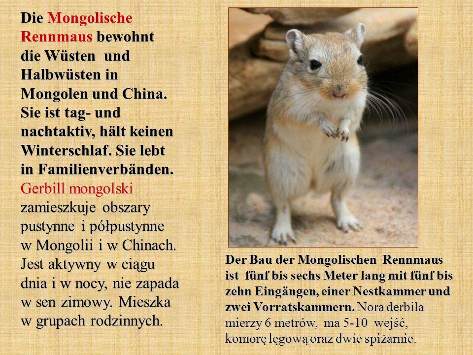 Die Mongolische Rennmaus bewohnt die Wüsten und Halbwüsten in Mongolen und China. Sie ist tag- und nachtaktiv, hält keinen Winterschlaf. Sie lebt in F