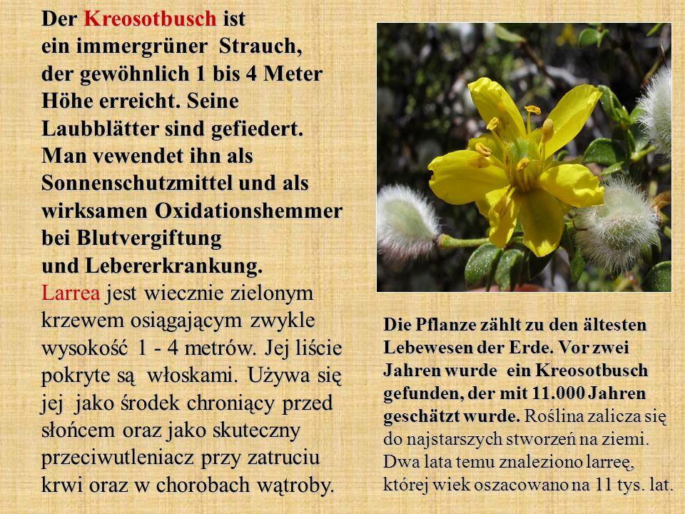 Der Kreosotbusch ist ein immergrüner Strauch, der gewöhnlich 1 bis 4 Meter Höhe erreicht. Seine Laubblätter sind gefiedert. Man vewendet ihn als Sonne