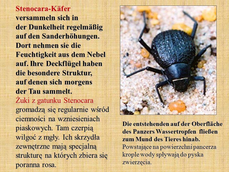 Stenocara-Käfer versammeln sich in der Dunkelheit regelmäßig auf den Sanderhöhungen. Dort nehmen sie die Feuchtigkeit aus dem Nebel auf. Ihre Deckflüg