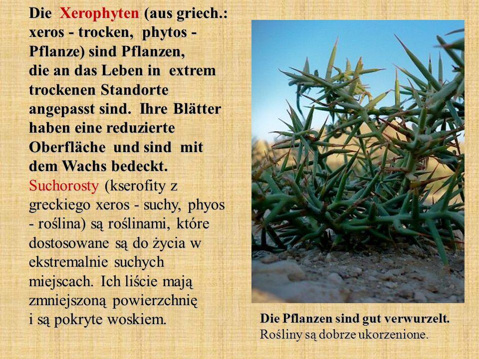 Die Xerophyten (aus griech.: xeros - trocken, phytos - Pflanze) sind Pflanzen, die an das Leben in extrem trockenen Standorte angepasst sind. Ihre Blä