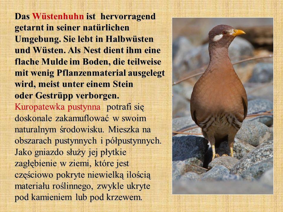 Das Wüstenhuhn ist hervorragend getarnt in seiner natürlichen Umgebung. Sie lebt in Halbwüsten und Wüsten. Als Nest dient ihm eine flache Mulde im Bod