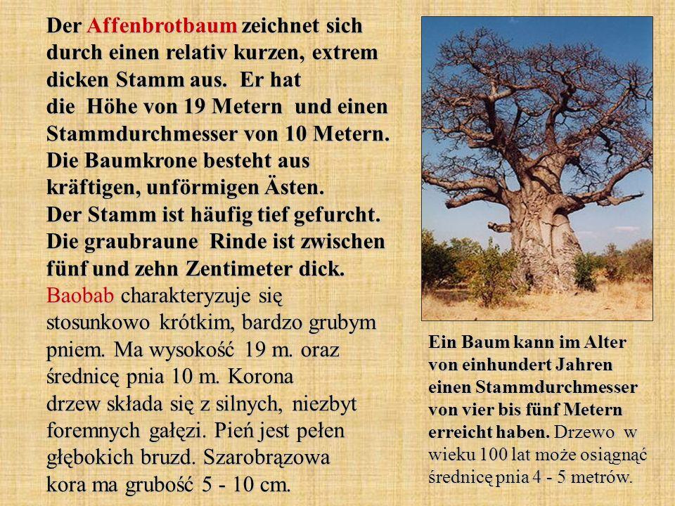 Der Affenbrotbaum zeichnet sich durch einen relativ kurzen, extrem dicken Stamm aus. Er hat die Höhe von 19 Metern und einen Stammdurchmesser von 10 M