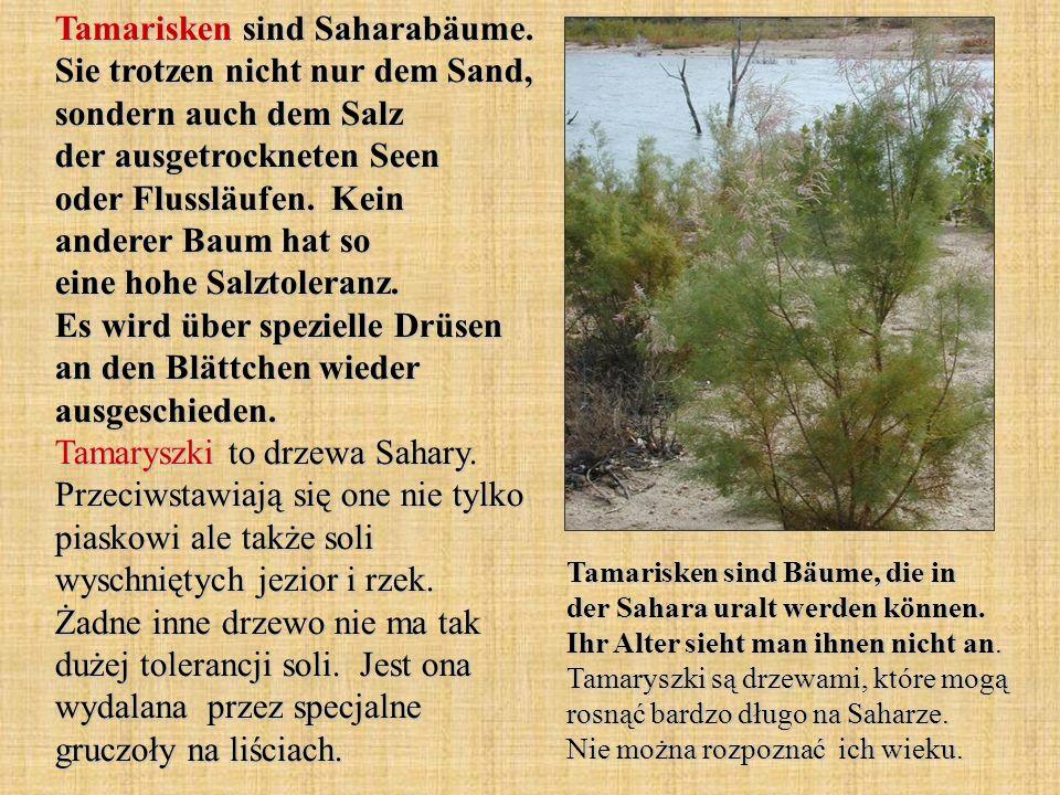 Tamarisken sind Saharabäume. Sie trotzen nicht nur dem Sand, sondern auch dem Salz der ausgetrockneten Seen oder Flussläufen. Kein anderer Baum hat so