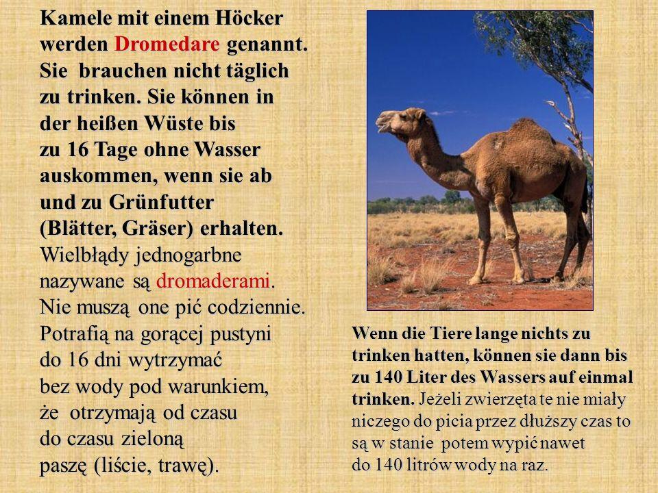Kamele mit einem Höcker werden Dromedare genannt. Sie brauchen nicht täglich zu trinken. Sie können in der heißen Wüste bis zu 16 Tage ohne Wasser aus