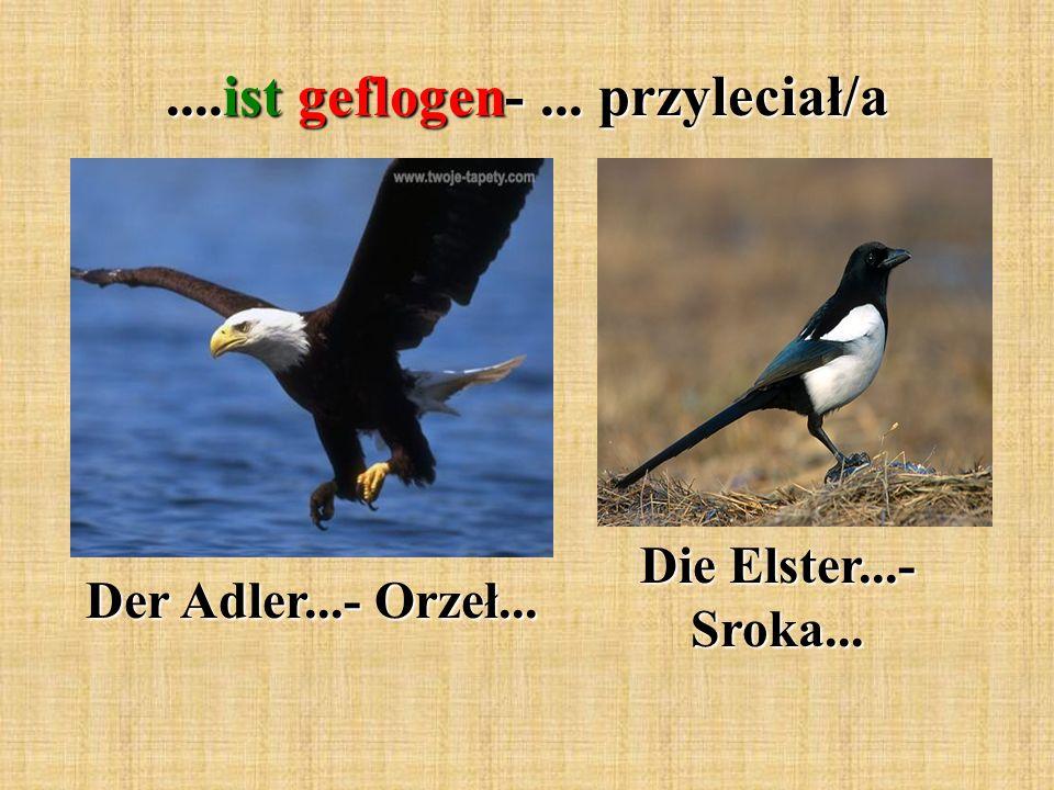 ....ist geflogen-... przyleciał/a Der Adler...- Orzeł... Die Elster...- Sroka...