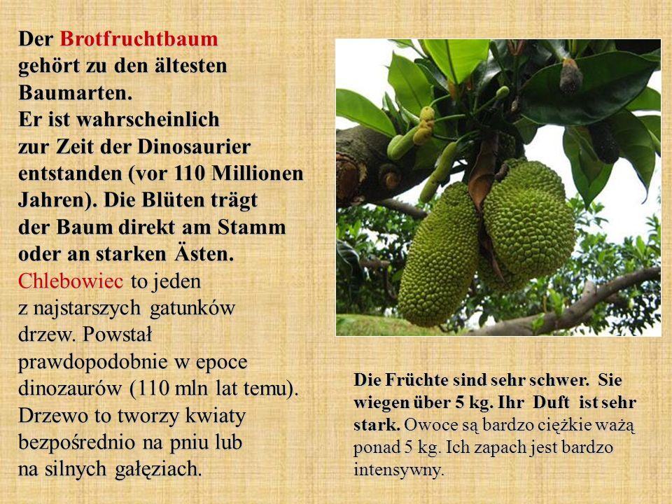 Der Brotfruchtbaum gehört zu den ältesten Baumarten.