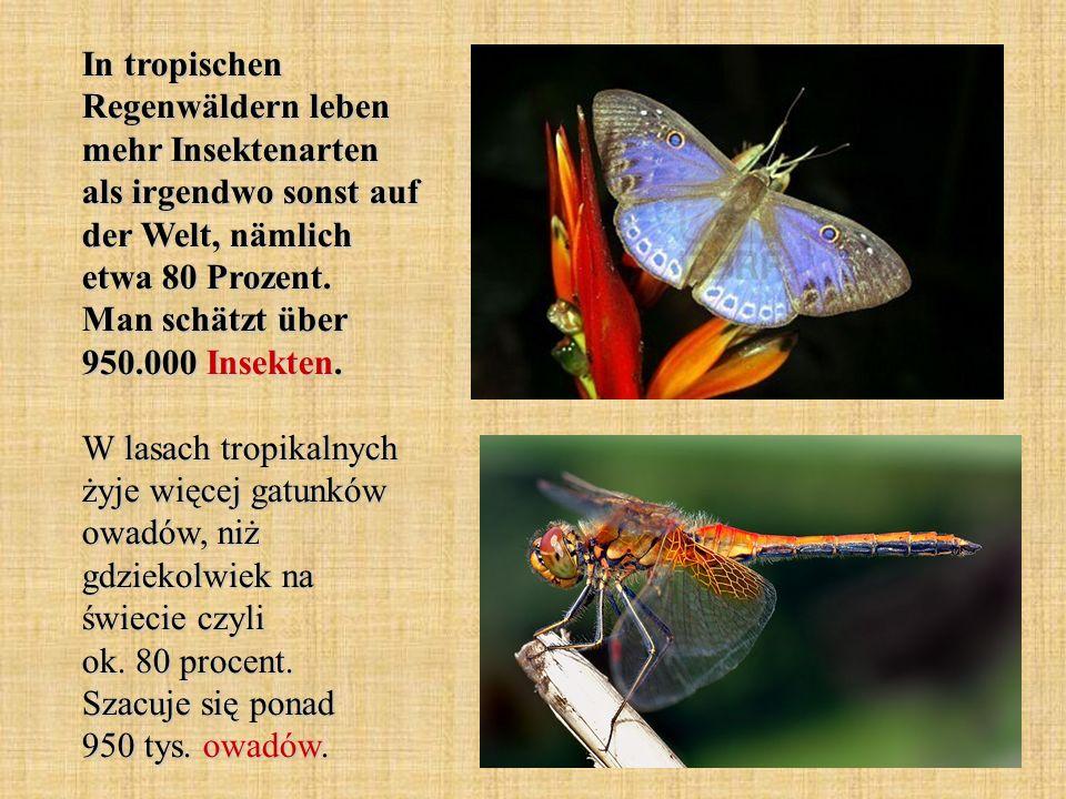 In tropischen Regenwäldern leben mehr Insektenarten als irgendwo sonst auf der Welt, nämlich etwa 80 Prozent.