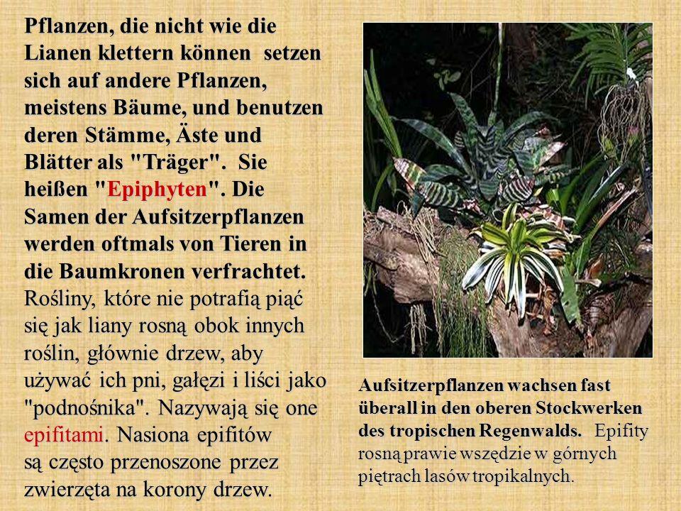Pflanzen, die nicht wie die Lianen klettern können setzen sich auf andere Pflanzen, meistens Bäume, und benutzen deren Stämme, Äste und Blätter als Träger .