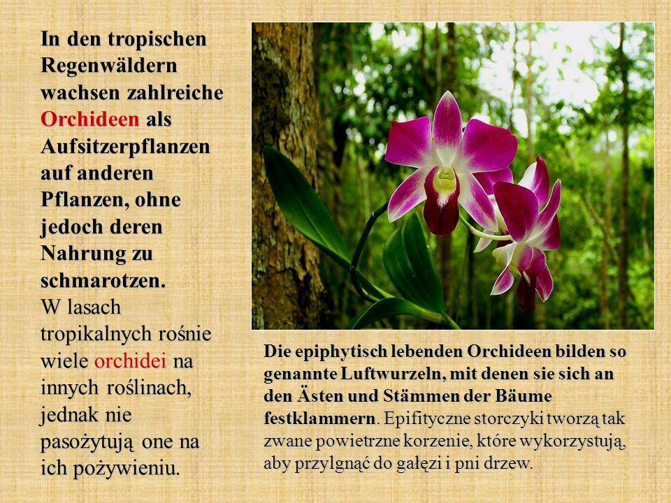 In den tropischen Regenwäldern wachsen zahlreiche Orchideen als Aufsitzerpflanzen auf anderen Pflanzen, ohne jedoch deren Nahrung zu schmarotzen.