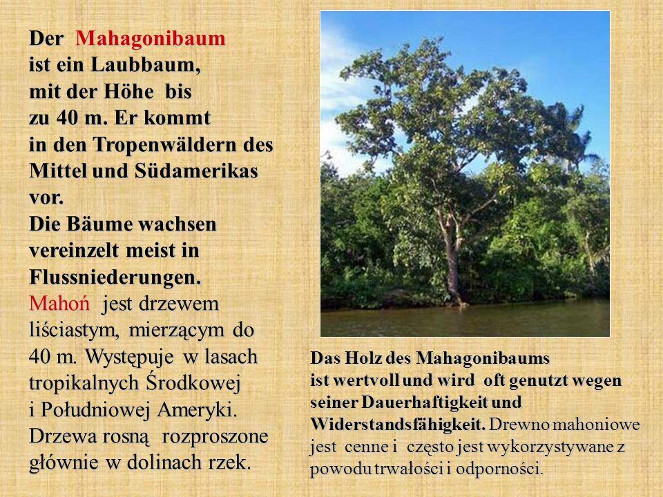 Der Mahagonibaum ist ein Laubbaum, mit der Höhe bis zu 40 m.